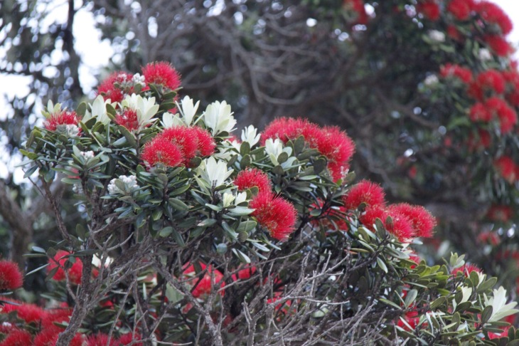 The blossom of the  pohutukawa tree is called kahika
