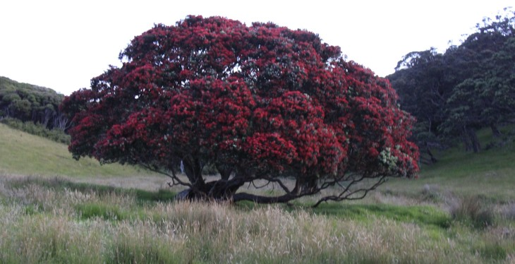 Metrosideros excelsa (pōhutukawa, New Zealand pohutukawa,New Zealand Christmas tree) is a coastal evergreen tree in the myrtle family, Myrtaceae, that produces a brilliant display of red (or occasionally orange, yellow or white) flowers made up of a mass of stamens. The pōhutukawa is one of twelve Metrosideros species endemic to New Zealand. Renowned for its vibrant colour and its ability to survive even perched on rocky, precarious cliffs, it has found an important place in New Zealand culture for its strength and beauty and is regarded as a chiefly tree (rākau rangatira) by Māori. (Wikipedia)